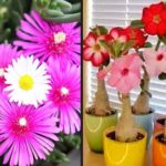 Rosa do deserto e-book completo ensina como cultivar